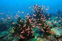 Lyretail Anthias hover over Green Coral, Pseudanthias squamipinnis, Tubastrea micrantha, Puerto Galera, Mindoro, Philippines
