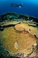 Diver over Coral Reef, Banda Islands, Moluccas, Indonesia