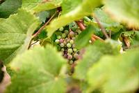 Grape details growing in vineyard field in Spain