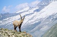 Alpine Ibex Capra ibex young bull in spring  The long winter in the high mountains etiolated and weakened the animals  The changing of the coats gives...