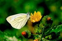 Weißling auf Blüte