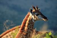 Giraffe calf, Hluhluwe Imfolozi Park, Kwazulu Natal, South Africa