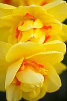 woodburn, oregon, united states of america, yellow tulips