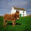 Cottage And Donkey, Tory Island