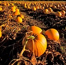 Crop of pumpkins in a field, Saanich Peninsula, Vancouver Island, British Columbia, Canada