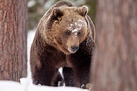 Eurasian brown bear in the snow in Taiga forest  Spring 2010  Martinselkonen, Finland