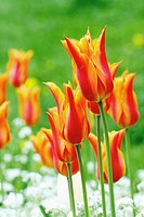 Red nnd gold tulips in a public garden  Large red tulips standing in a formal garden  Background of green with blurred background of white flowers