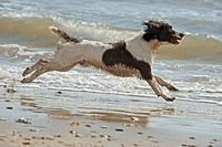 English Springer Spaniel dog _ running at the beach