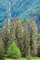 Conifer trees in a forest, Pack Creek Bear Preserve, Admiralty Island National Monument, Admiralty Island, Alaska, USA