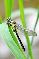 Emerging Common Clubtail, Gomphus vulgatissimus clings to marsh grass after emerging  eyes are still grey and not fully formed  Before first flight  W...