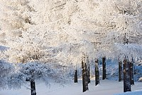 Snow covered Larches