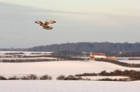Common Kestrel Falco tinnunculus adult female, in flight, hovering over snow covered arable farmland, Norfolk, England, december