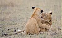 Lion Panthera leo two cubs, play_fighting, Masai Mara, Kenya