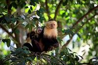 White_throated Capuchin Cebus capucinus adult female, carrying baby on back, Roatan, Honduras
