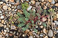 Portland Spurge Euphorbia portlandica flowering, growing on shingle beach, Ringstead, Dorset, England, july