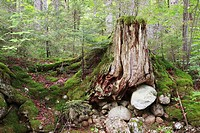 Decaying tree stump along the Hancock Branch of the old East Branch & Lincoln Railroad in Lincoln, New Hampshire USA  This railroad was an logging rai...