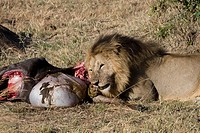 A male lion eats the intestines of a wildebeest kill