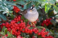 White_crowned Sparrow Zonotrichia leucophrys adult, feeding on pyracantha berries, U S A