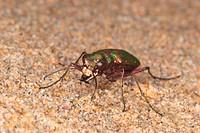 Green Tiger Beetle Cicindela campestris adult, on coastal sand dunes, Rock, Cornwall, England, april
