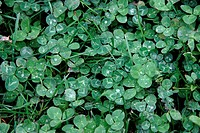 Close_up of Clovers