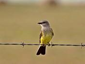southern, kingbird, scenic, strand, barbedwire, western
