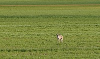 saskatchewan, coyote, southern, scenic, field, young