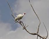 usa, ibis, florida, scenic, tree, white