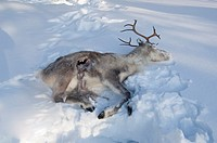 Dead Reindeer left in the snow as a bait for feeding Golden Eagle, Oulanka area, Finland