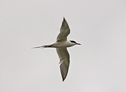 western, tern, saskatchewan, scenic, flight, forsters