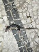Dead mouse, São Paulo, Brazil