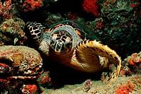 Hawksbill Turtle, Eretmochelys imbricata, Indian Ocean, Maldives Island