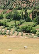 View from El Corralon viewpoint in Alcaraz village ,Olive trees in Alcaraz mountain range  Albacete province, Spain