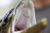 Detail of a hook in the mouth of a fish