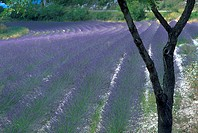 field, tree, rows, lavender, nature, flowers