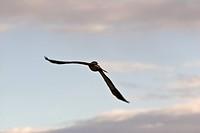 saskatchewan, tern, southern, scenic, flight, black