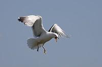 Lesser blackbacked gull Larus fuscus. UK