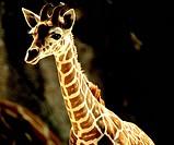 nature giraffe juvenile young zoology vertebrate