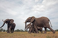 African elephant (Loxodonta africana) family on the move -wide angle perspective-, Maasai Mara National Reserve, Kenya