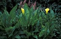 ZANTEDESCHIA ELLIOTIANA WHOLE PLANT YELLOW FLOWER