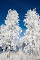 frosty birches against blue sky
