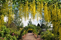 LABURNUM WALK AT THE GARDEN AT THE BANNUT BRINGSTY HEREFORDSHIRE MAY