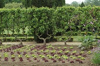 VEGETABLE GARDEN : ROW LINE OF SALAD. FAN FRUIT. PARK FLOWER OF HAUTE BRETAGNE. ISLAND AND VILAINE. FRANCE