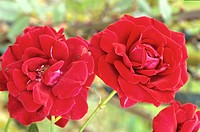 ROSA ´RED SCENTED AROMATIC FRAGRANT ´ ROSE