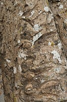 MANGUIFERA INDICA MANGUIER ANACARADIACEAE TREE FRUIT TROPICAL BARK TRUNK ANGKOR. CAMBODGE. TEMPLE OF BENG MELEA