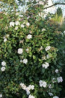 VIBURNUM TINUS LAURUSTINUS CAPRIFOLIACEAE. BUSH ORNAMENTAL. FOLIAGE EVERGREEN. FLOWERING NOVEMBER/APRIL