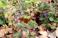 GLECHOMA HEDERACEA OR GROUND IVY IN LATE APRIL
