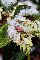 RIBES LAURIFOLIUM WITH SNOW