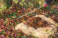 CLEARING UP LEAVES IN AUTUMN.