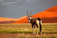 Gemsbok Oryx gazella, in the desert, Namib-Naukluft National Park, Namib desert, Namibia