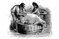 Washing and disinfection of a sheep. Old book illustration, 1900